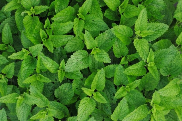 2925596-sweet-mint-leaves-as-very-nice-green-natural-background.jpg